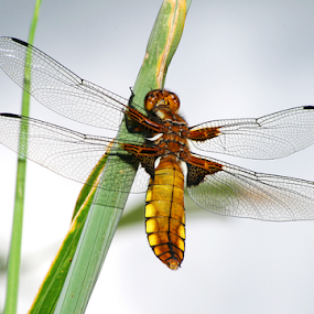 Dragonfly by Mandy Jervis - Animals Insects & Spiders ( broad bodied chaser dragonfly insect wings nature wildlife resting,  )