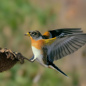 Brambling by Albergamo Paolo - Animals Birds ( animals, paolo albergamo, brambling, sunflower, birds )