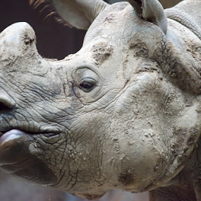 Indian or Java rhinoceros face close up by Toronto-Images .Com - Animals Other Mammals ( hervibore, nobody, detail, herbivore, fauna, wildlife, black rhinoceros, exotic, skin, nature, conservation, extinction, horned, critically, animal, wild, animals, species, creature, texture, national, indian, rough, rhino, dangerous, mammal, huge, pattern, strong, thick, rhinoceros, endangered, reserve, java, lines, big, standing, large )