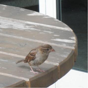 Gorrión. House sparrow