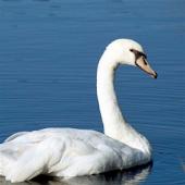 Swan Jigsaw