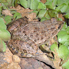 Jerdon's Bullfrog