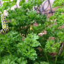 Black Swallowtail (caterpillar)