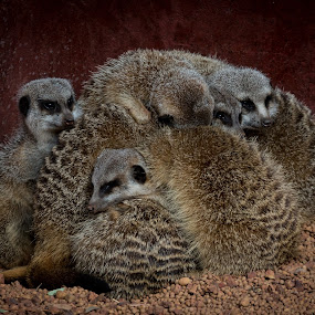 Keeping Warm by Gary Tindale - Animals Other Mammals ( animals, cuddle, meercat, perth zoo,  )