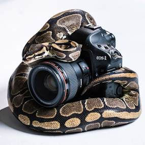 Close Shot by Jerry Alt - Animals Reptiles ( canon, python, ball, camera, curl, lens )