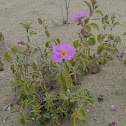 Rock Rose, Zistrose