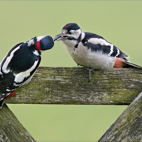 Great Spotted Woodpeckers Worcester. by Marlene Finlayson - Animals Birds