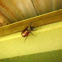 Siamese Rhinoceros Beetle