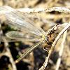 Myrmelentidae