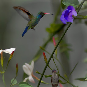 two birds in the garden by John Kolenberg - Animals Birds ( jardine, colibri, nature, plants, garden, hummingbirds,  )