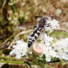 Flower wasps. Tífidos