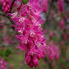 Arbusto flores rosas