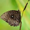 Palmflies