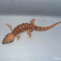 Termite-Hill Gecko