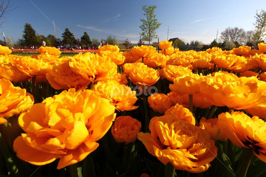 by Dipali S - Flowers Flower Gardens ( tulipa, nature, flora, tulip, yellow, garden, flower,  )