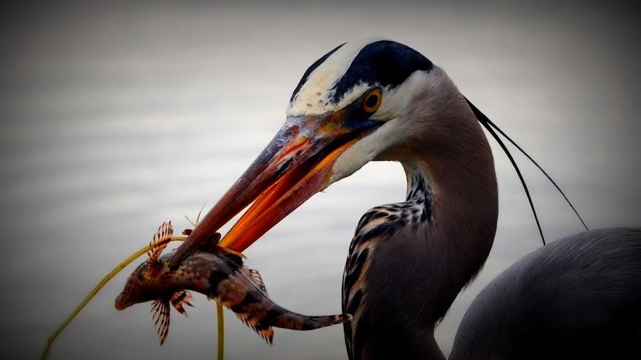 Mr. Heron Caught One by Maverick -MaverickPhotography - Animals Birds ( morro bay, wild life, blue heron, fish )