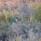 Spotted Towhee & Scrub Oak