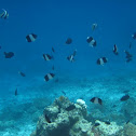 Black Pyramid Butterfly Fish