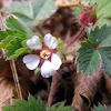 Pink barren strawberry, pasja jagoda