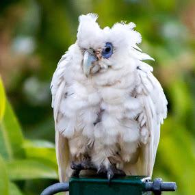 by Brad Uhlmann - Animals Birds (  )