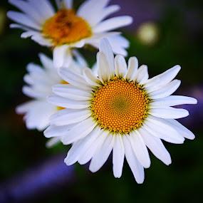 Daisy by Steve Friedman - Flowers Single Flower ( daisy, flower,  )