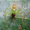 Magnolia Green Spider