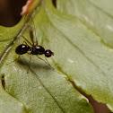 Seipsidae fly