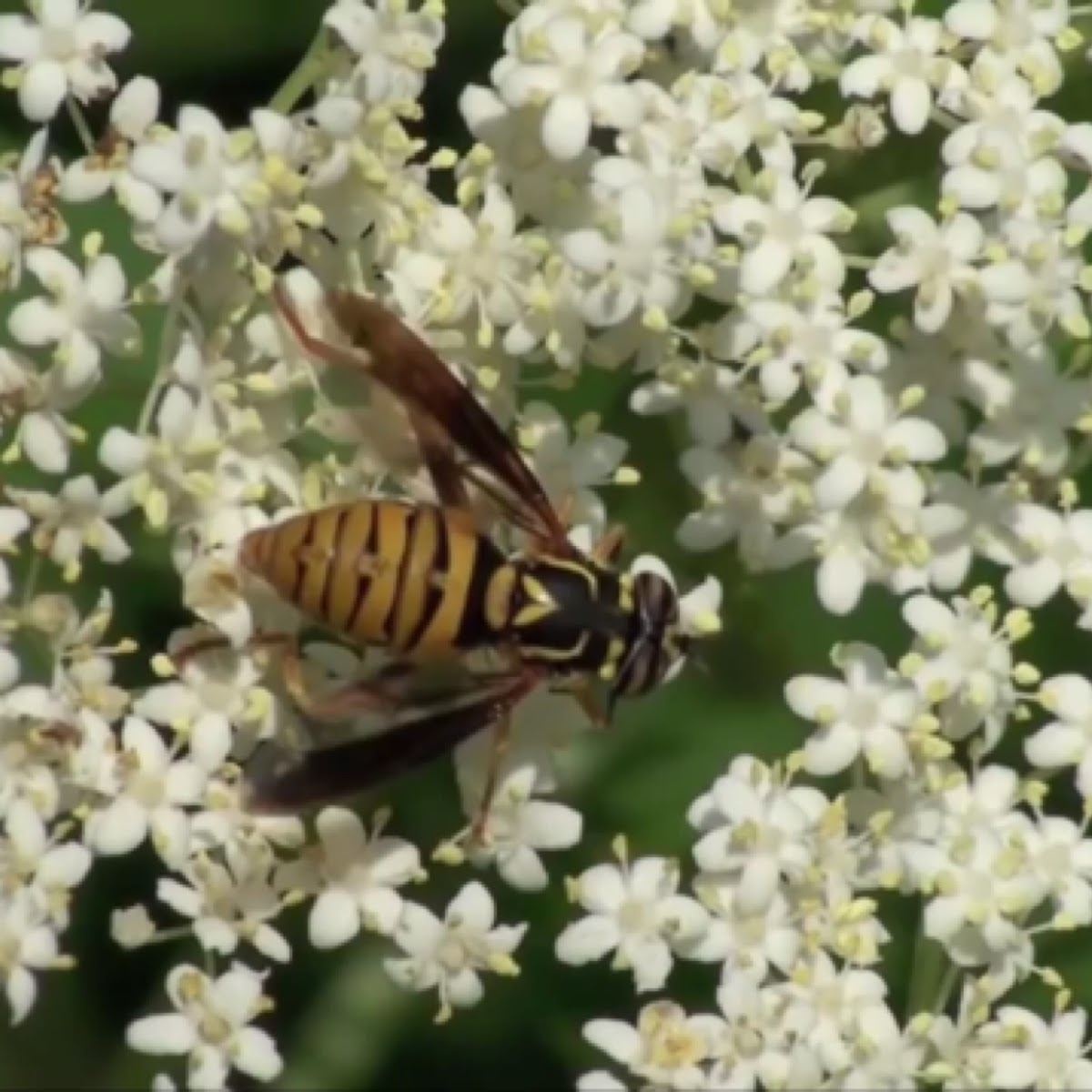 Wasp mimic flower fly