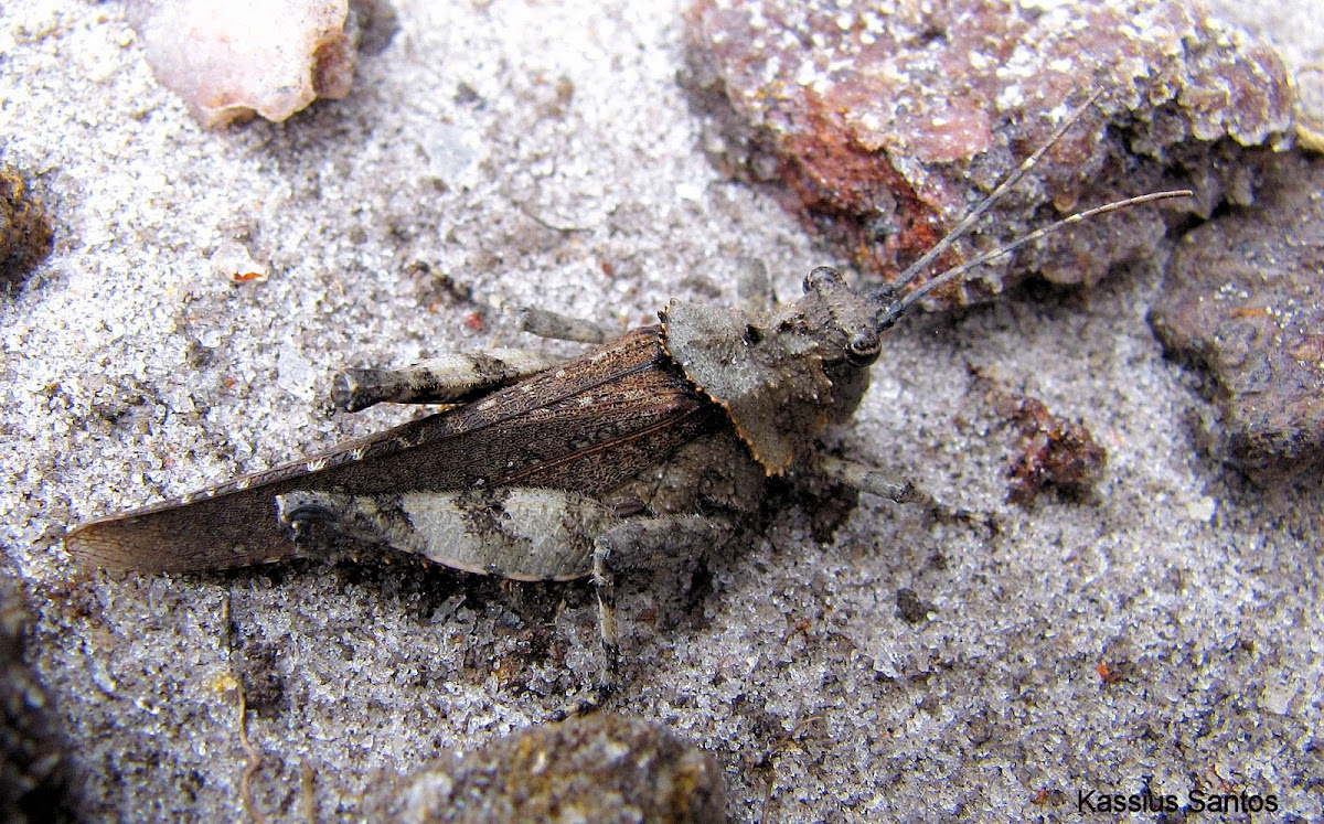 Rock Grasshopper (Brazilian)
