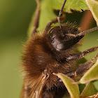 The tree bumblebee or new garden bumblebee