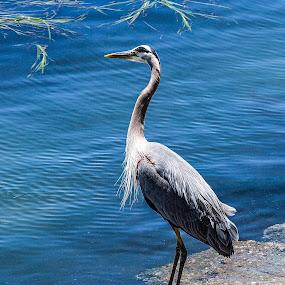 Monterey Bird by Zetsu Nawa - Animals Birds ( bird, monterey, sea, rock, heron )