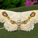 Eye Looper Moth