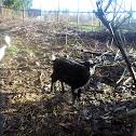Nigerian Dwarf Goat (female)