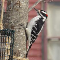 Feeder Wildlife - Northeast U.S