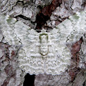 Tree Geometer Moth