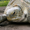 Green See Turtle