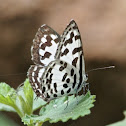 Common Pierrot (male)