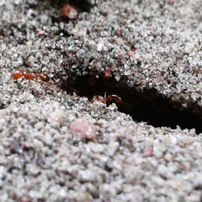 Ant Colony by Arif Hossain - Nature Up Close Other Natural Objects ( samsung galaxy s duos, ant colony, colony, arif hossain photography, ant )
