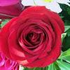 Amorosa Rose