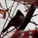 Black-capped Chickadee