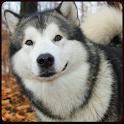 Siberian Husky Wallpaper 2015 icon