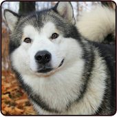 Siberian Husky Wallpaper 2015