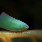 Flatid Planthopper.