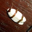 Striped Tiger Moth