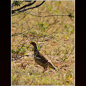 Grey Francolin / Grey Partridge