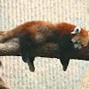 Red Panda.. F / M
