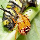 Stink Bug Nymph Eating Monarch Caterpillar