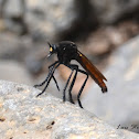 Mexican Robber Fly