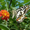 Chequered Swallowtail or Common Lime Butterfly