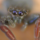 Common Jumping Spider